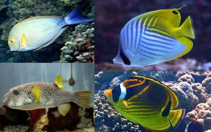 Yellowfin surgeonfish-Threadfin butterflyfish-Raccoon butterflyfish-White spotted puffer-Quarantining Your Fish