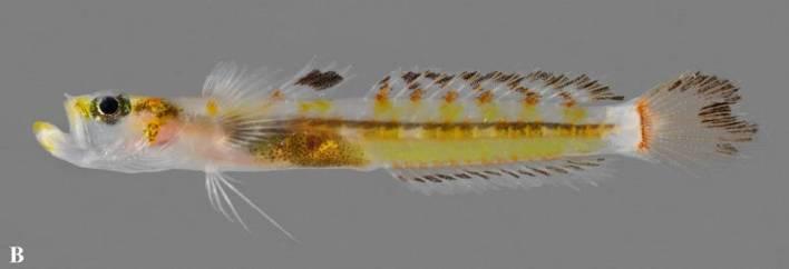 Gymnoxenisthmus flavicinctus-1