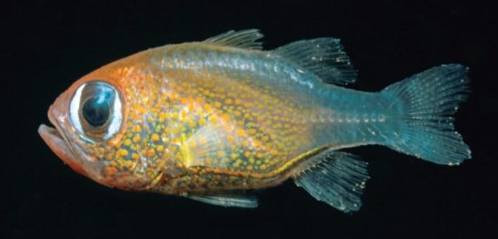 Siphamia arnazae-1