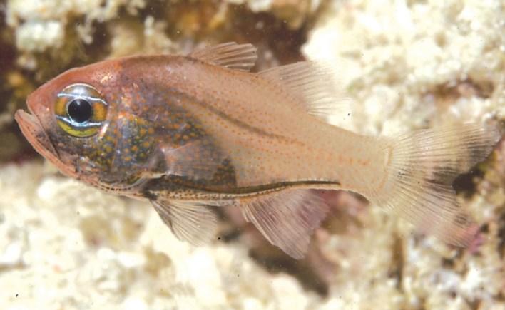 Siphamia cyanophthalma