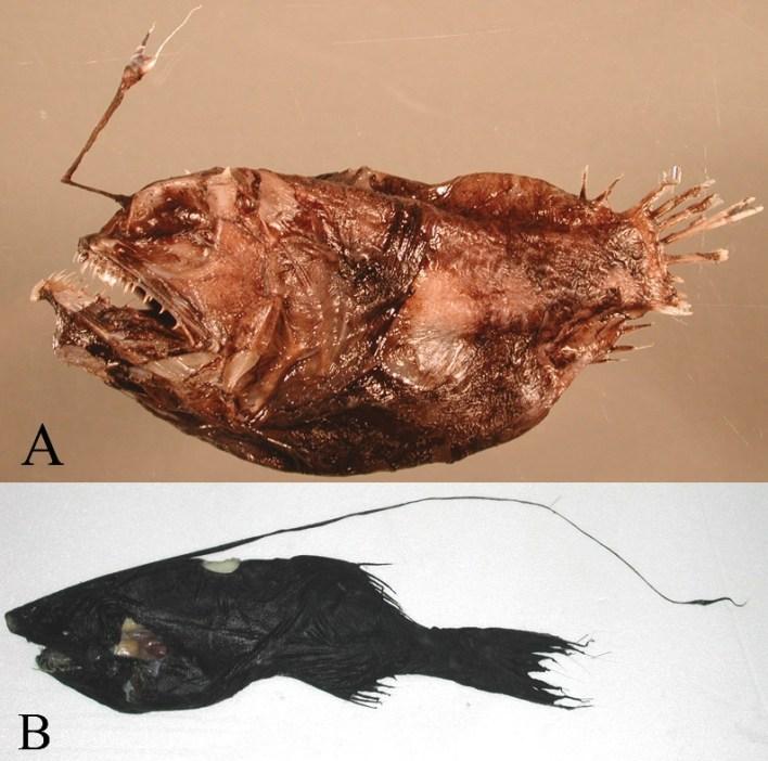 Oneirodes formosanus and Gigantactis cheni-1