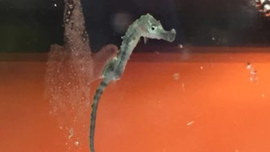 Photo of Macduff Marine Aquarium sucessufully breeds Long-snouted seahorse