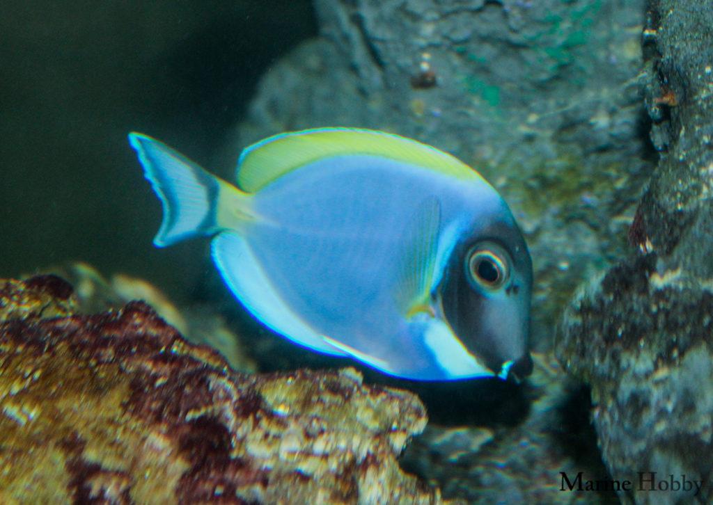 Powder Blue-Reef-Fish