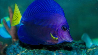 Photo of Pretty little purple tang