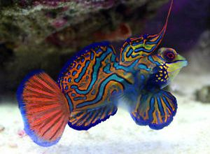 Photo of Look For The Green Mandarin Fish!!!