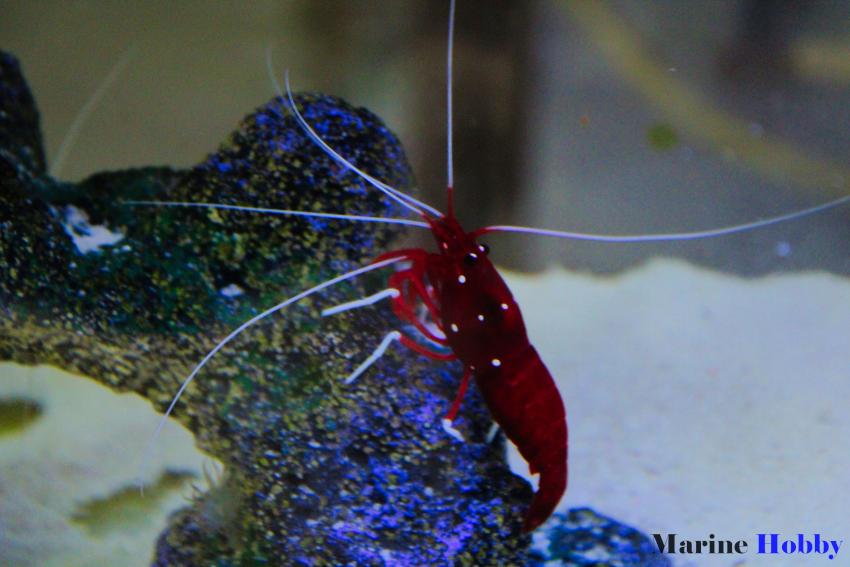 Blood shrimp Reef