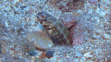 Photo of New jawfish, Opistognathus thionyi found off Brazil