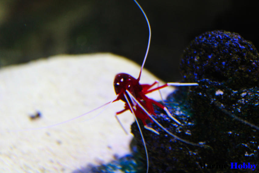 Red shrimp Blood shripm