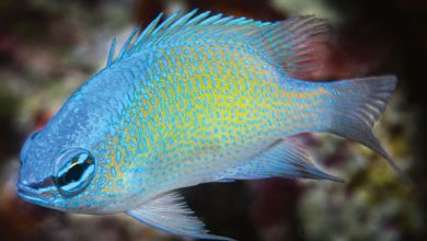 Photo of Chrysiptera uswanasi, the New Damselfish from Papua
