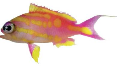 Photo of Tosanoides bennetti, a new species from the Coral Sea