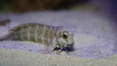 Photo of Look for Jeweled Rockskipper (Salarias fasciatus) for algae control