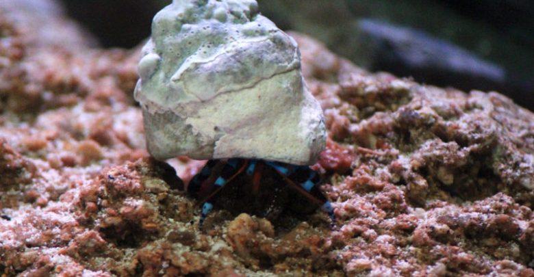 Blue Leg Hermit Crabs (Calcinus elegans)_MH