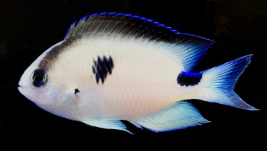 Photo of Pomacentrus vatosoa, unknown Damselfish gets an official name