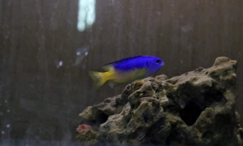Blue and Yellow Damselfish