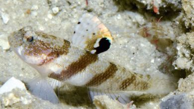 Photo of Mahidolia paucipora, a New Species of Shrimpgoby from East Papua