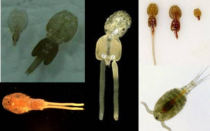 Quarantining Your Fish, Survey on Parasitic copepods