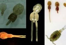 Quarantining Your Fish, Survey on Parasitic copepods
