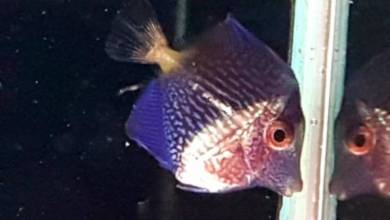 Photo of Captive Bred Purple Tang by Bali Aquarich