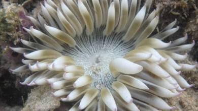 Photo of Scientists re-describe Phymanthus pinnulatus, Sea Anemone from Singapore