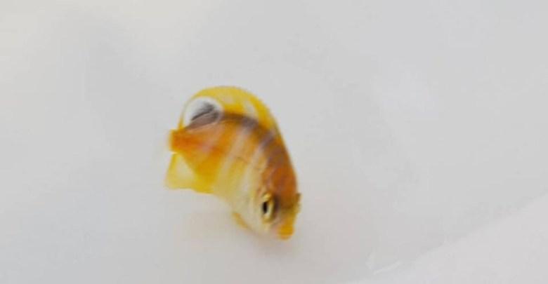 Captive Bred Regal Angelfish