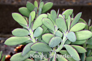 Crassulaceae Jade Plant Family