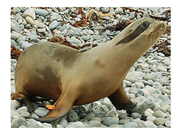 """Marino"" California Sea Lion #13-091"