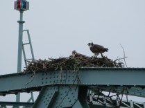 Osprey nest on the island swing bridge.