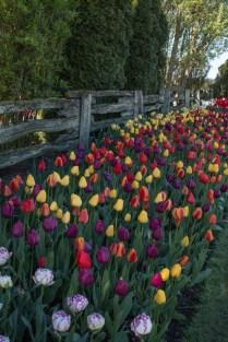 tulip garden multicolor