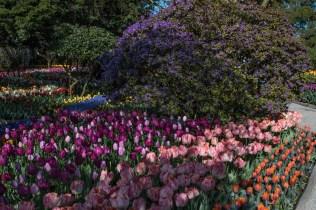 tulip garden purple rhodie