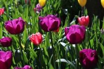 light through tulips