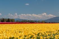 tulip field yellow