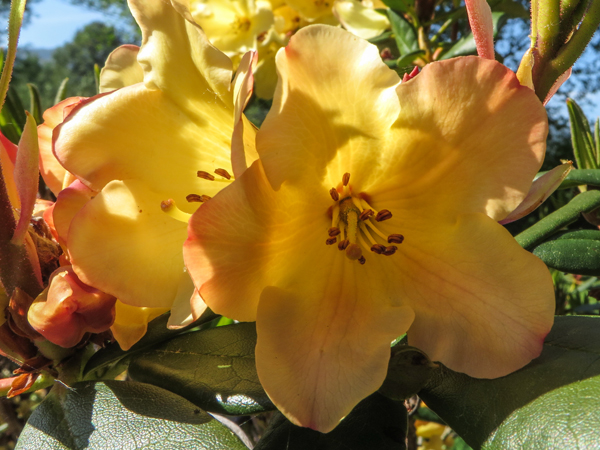 yellow rhodie