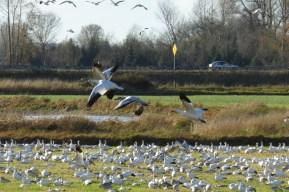 lots of snow geese