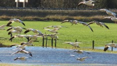 snow geese coming in