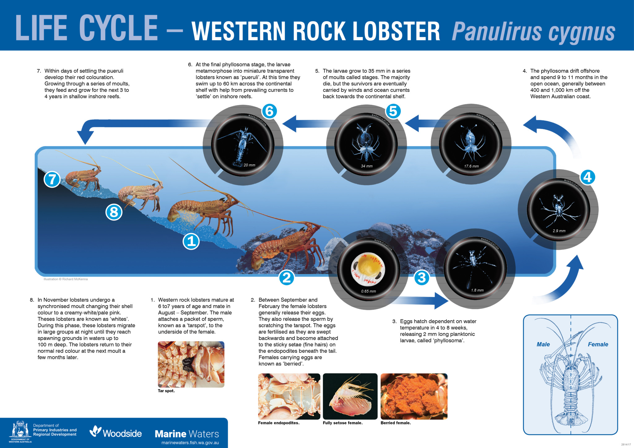 Poster Western Rock Lobster Life Cycle Department Of