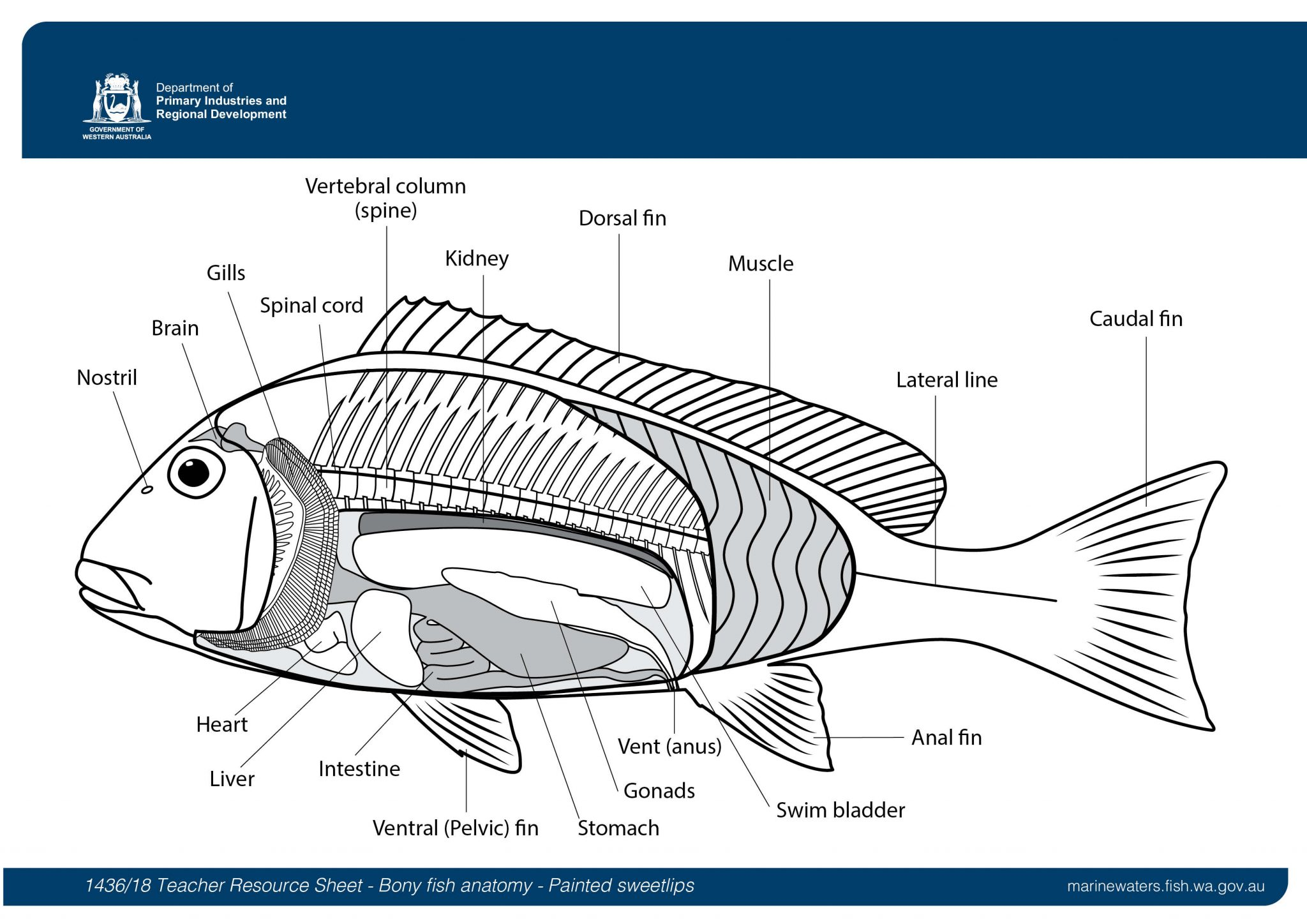 Teacher Resource Sheet Bony Fish Anatomy