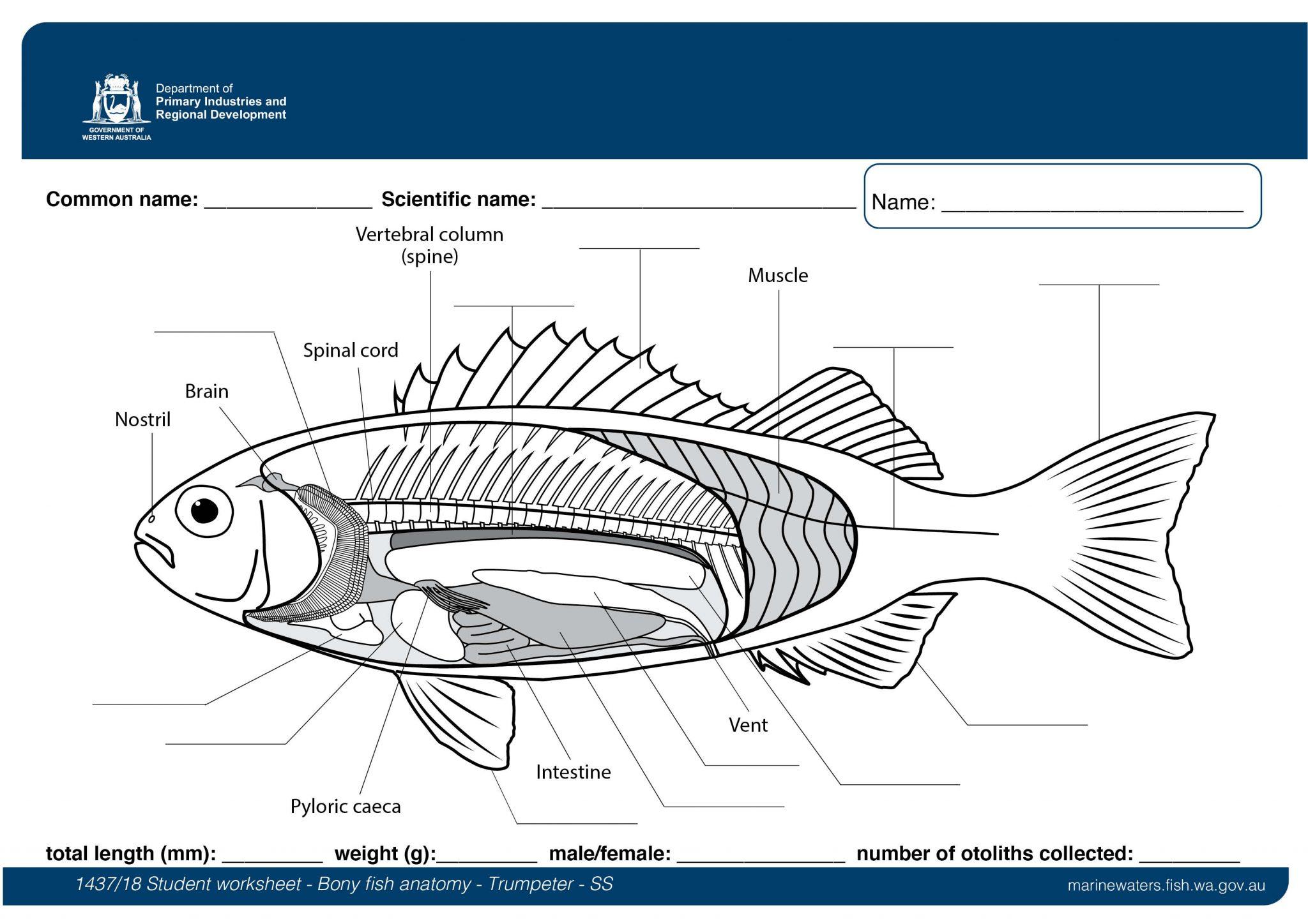Student Worksheet Bony Fish Anatomy