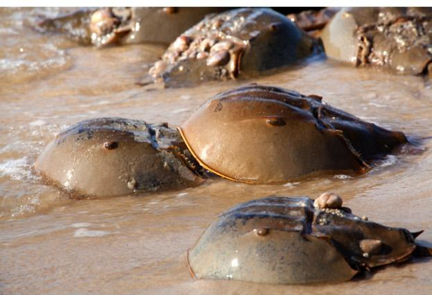 Horseshoe crab (Limulus polyphemus) during spewing season: