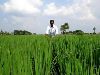 System for Rice Intensification àè una comunità internazionale di agricoltori che si scambiano informazioni sui migliori metodi di coltivazioni non OGM.