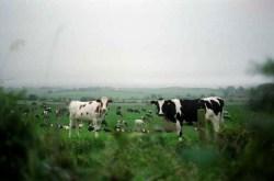 Ireland, Biking, Cows
