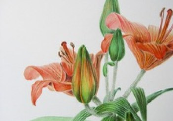 Lilium bulbiferum ssp. croceum – roggelelie, detail (dubbeltechniek)