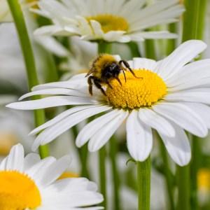 flower, bumblebee, pollen, daisy