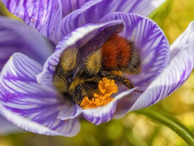 bumblebee, crocus, flower