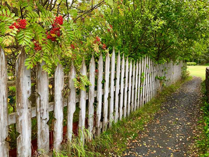 Mountain ash, heavy with red berries, drapes over wood fence, Kodiak, Alaska