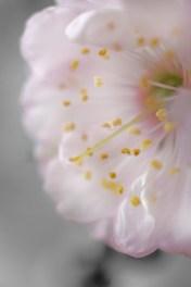 Mandelblüte Details