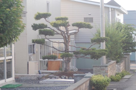 Bonsai plant in front of a neighbor's house