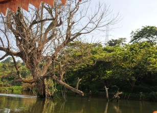 Dying trees on the Nile