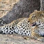 leopard-608891__180