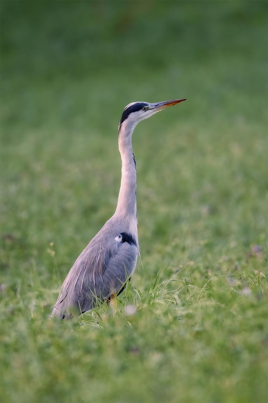 Stârc cenușiu (Ardea cinerea) - wildlife photography - pasari - 2020