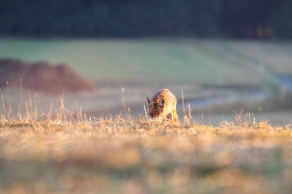 Vulpe rosie pe camp - Vulpea rosie la vanatoare sau vanatorul perfect